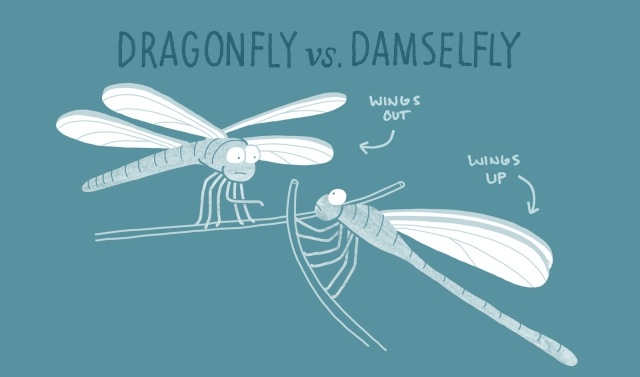 BHR-animal-differences-6-dragonfly